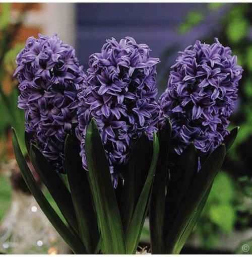 Hyacinthus flower bulbs-seed